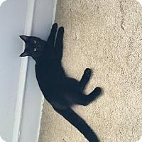Adopt A Pet :: Purrcy - Marlton, NJ