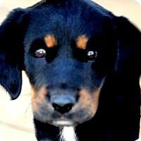 Adopt A Pet :: EMMA(THE SURPRISE PUPPY!!) - Wakefield, RI