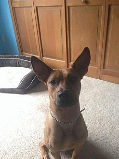 Shepherd (Unknown Type)/Retriever (Unknown Type) Mix Dog for adoption in Detroit, Michigan - Doyle - Foster Needed