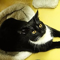 Domestic Shorthair Cat for adoption in Los Angeles, California - Pippi