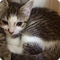 Adopt A Pet :: Ash #1 - Lunenburg, MA