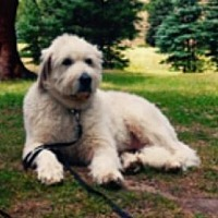 Great Pyrenees Dog for adoption in Cheyenne, Wyoming - Molly