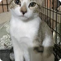 Egyptian Mau Kitten for adoption in Cerritos, California - Benny