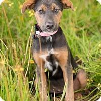 Doberman Pinscher Mix Puppy for adoption in Santa Fe, Texas - Abby