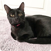 Domestic Shorthair Kitten for adoption in Arlington/Ft Worth, Texas - Mike