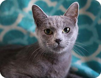 Russian Blue Cat for adoption in Allentown, Pennsylvania - Alberta
