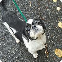 Adopt A Pet :: Shag - Pottsville, PA