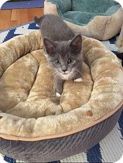 Domestic Shorthair Kitten for adoption in Whitehall, Pennsylvania - Serena