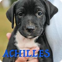 Adopt A Pet :: Achilles - Colmar, PA