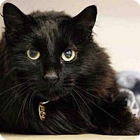 Domestic Mediumhair Cat for adoption in Denver, Colorado - GUS