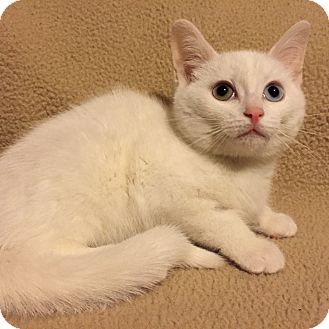 Domestic Shorthair Kitten for adoption in Woodstock, Ontario - Casper