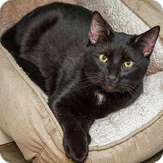 Domestic Shorthair Cat for adoption in Houston, Texas - Poseidon