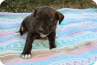 Labrador Retriever/Hound (Unknown Type) Mix Puppy for adoption in Seneca, South Carolina - Jasmine $250