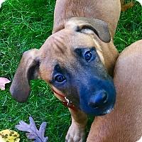 Adopt A Pet :: Michelangelo - Bedford Hills, NY