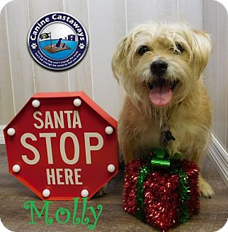 Glen of Imaal Terrier/Terrier (Unknown Type, Medium) Mix Dog for adoption in Arcadia, Florida - Molly