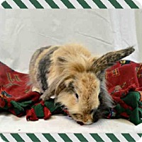 American Fuzzy Lop for adoption in St. Peters, Missouri - CHIP