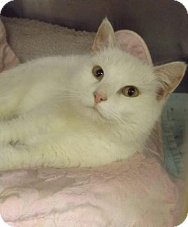Domestic Shorthair Cat for adoption in Martinsburg, West Virginia - Ghost
