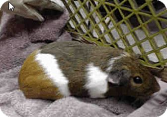 Guinea Pig for adoption in Fullerton, California - *Urgent* Heidi