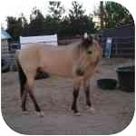 Mustang for adoption in El Dorado Hills, California - Sammy