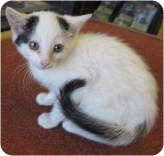 American Shorthair Kitten for adoption in Los Alamitos, California - Mick
