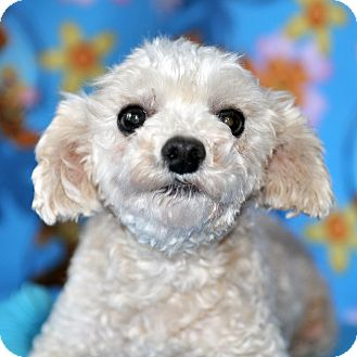 Poodle (Toy or Tea Cup) Dog for adoption in Howell, Michigan - Skeeter