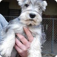 Adopt A Pet :: Silver - Antioch, IL