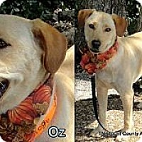 Adopt A Pet :: Oz - Hop Bottom, PA