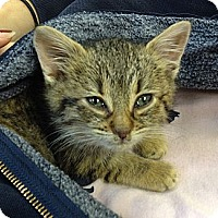Adopt A Pet :: Isabelle - Island Park, NY