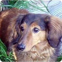 Adopt A Pet :: Darby - San Jose, CA