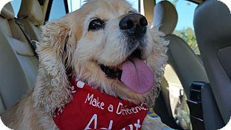 Cocker Spaniel Dog for adoption in Burbank, California - Bubbles