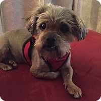 Adopt A Pet :: Scruffy - Las Vegas, NV
