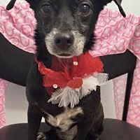 Dachshund Dog for adoption in Weston, Florida - Precious