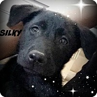 Adopt A Pet :: Silky-pending adoption - Manchester, CT