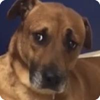 Adopt A Pet :: Maddox ~ TOLERANT - St Petersburg, FL