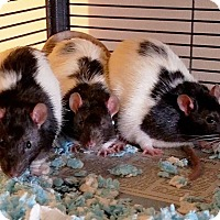 Rat for adoption in Aurora, Illinois - Three Stooges (Moe, Larry and Curly)