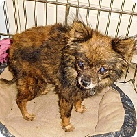 Pomeranian/Chihuahua Mix Dog for adoption in Gilbert, Arizona - Rosco
