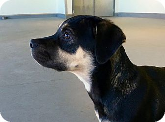 Rottweiler/Pug Mix Puppy for adoption in Westport, Connecticut - *Angelica - PENDING
