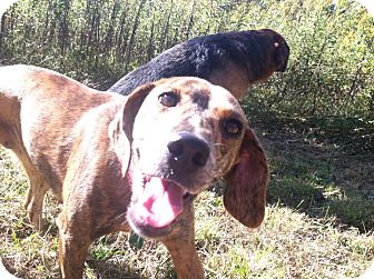 Beagle/Miniature Pinscher Mix Dog for adoption in McArthur, Ohio - Penny