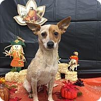 Adopt A Pet :: A - BAMBI - Augusta, ME