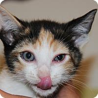 Domestic Mediumhair Kitten for adoption in Agoura Hills, California - Genie