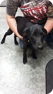 Labrador Retriever Mix Puppy for adoption in Paducah, Kentucky - Peaches