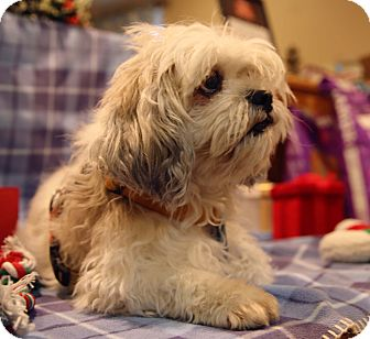 Lhasa Apso Mix Dog for adoption in Newtown, Connecticut - Gordy