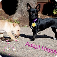 Chihuahua Mix Dog for adoption in Concord, California - Happy