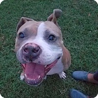 Pit Bull Terrier/Terrier (Unknown Type, Medium) Mix Dog for adoption in Chattanooga, Tennessee - Brewster