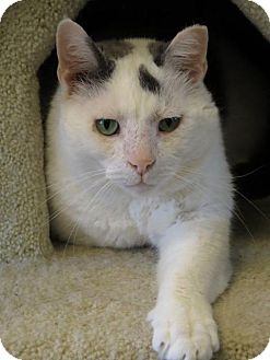Domestic Shorthair Cat for adoption in Cincinnati, Ohio - Valentine