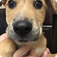 Adopt A Pet :: RUNTY - Littleton, CO