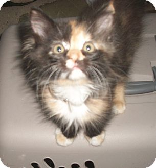 Domestic Mediumhair Kitten for adoption in Holmes Beach, Florida - Heidi