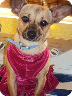 Chihuahua/Terrier (Unknown Type, Small) Mix Puppy for adoption in San Diego, California - Abby
