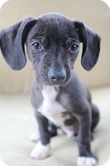 Chihuahua/American Hairless Terrier Mix Puppy for adoption in Wytheville, Virginia - Merlin