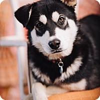 Adopt A Pet :: Cyrus - Portland, OR